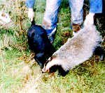 Badger being baited by a terrier