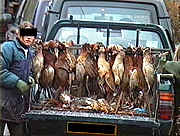 Dead pheasants in a van