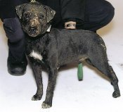 Patterdale terrier with scars